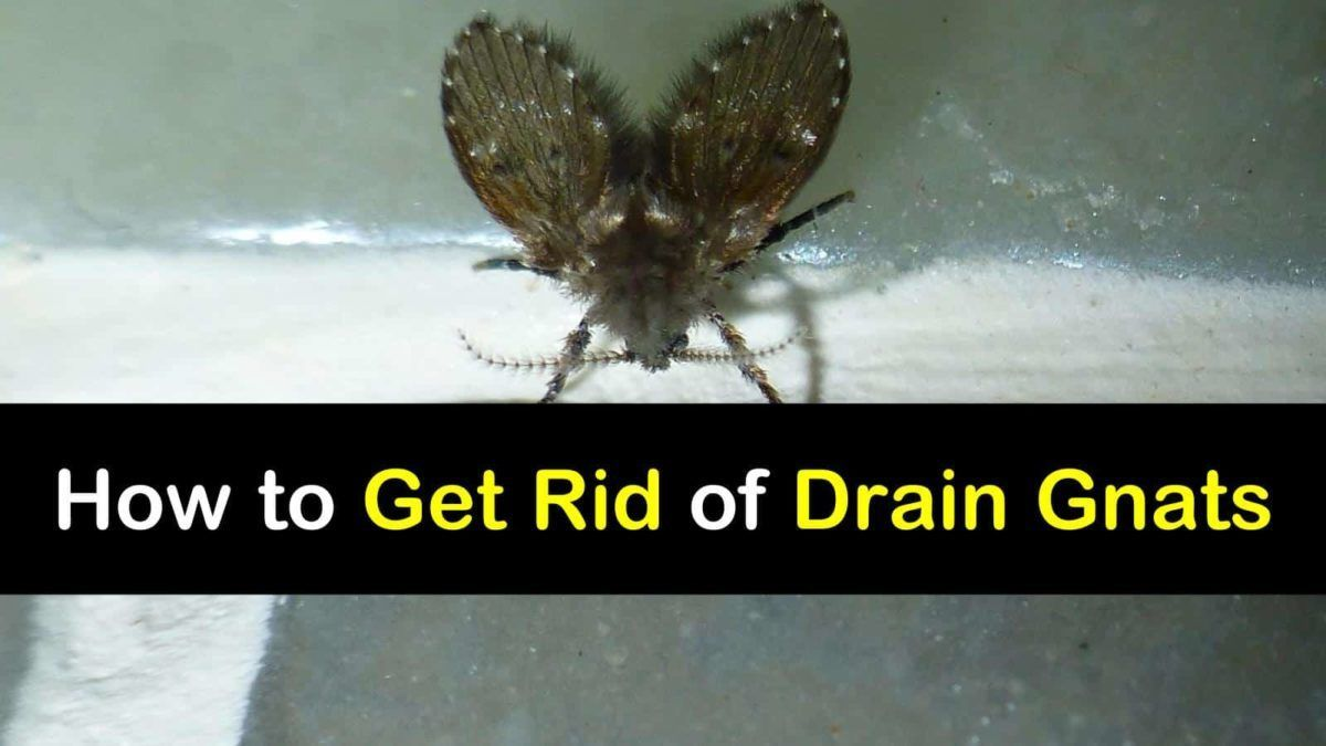 4 Amazingly Simply Ways to Get Rid of Drain Gnats #gnats