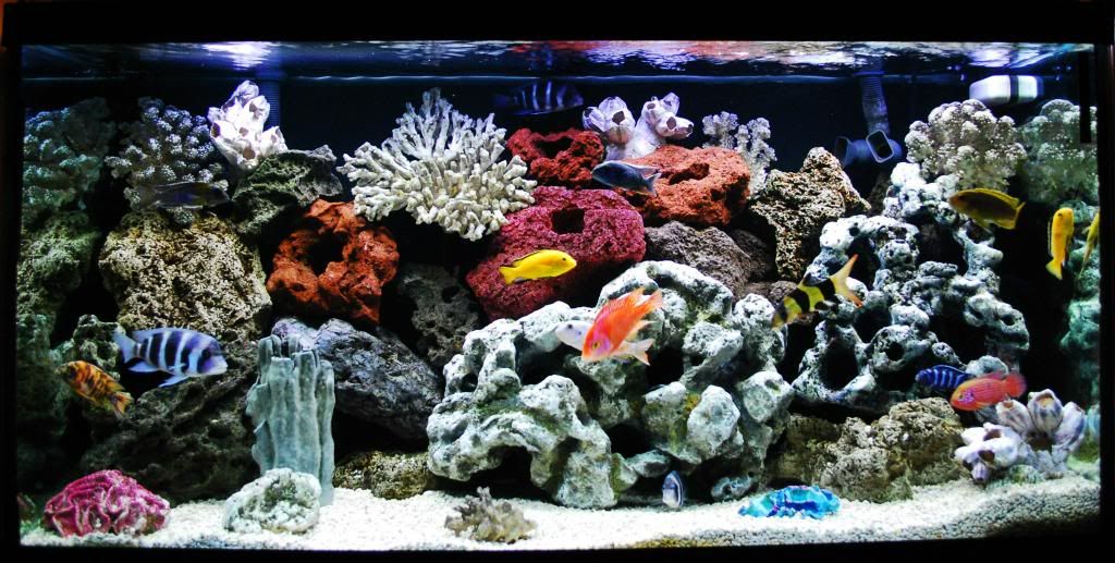 90 gallon african cichlid poor mans saltwater tank for Community saltwater fish