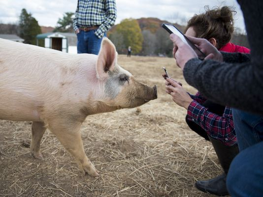 Ill. couple drives 580 miles to visit rescued pig on Thanksgiving