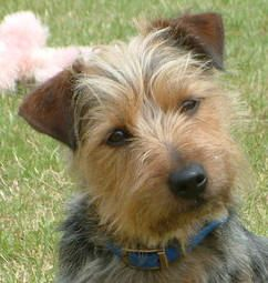 Yorkie Russell So Like My Bella Cute Dogs Pinterest Yorkie
