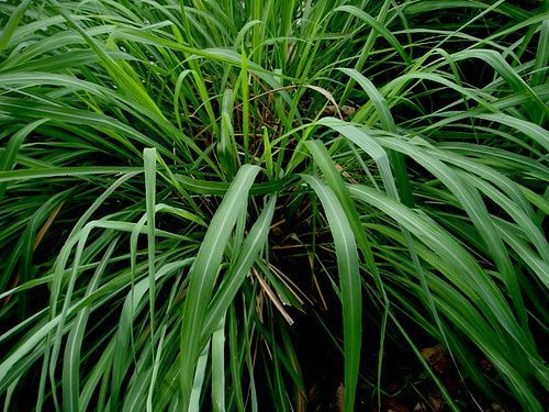 #insecticides #mosquitoes #citronella #naturally #mosquitos #featured #plants #repell #repels #grass #repel #that #and #is #in6 Plants That Repel Mosquitoes Naturally 6 plants that repell mosquitos! - Citronella grass repels mosquitoes and is featured in insecticides6 plants that repell mosquitos! - Citronella grass repels mosquitoes and is featured in insecticides #plantsthatrepelmosquitoes
