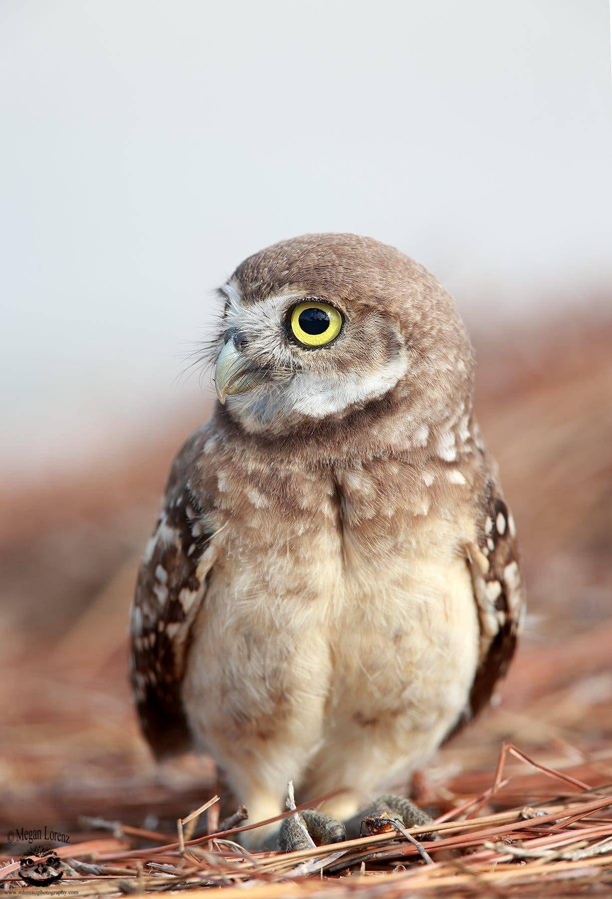 Owlet by © Megan Lorenz Burrowing Owlet in Florida