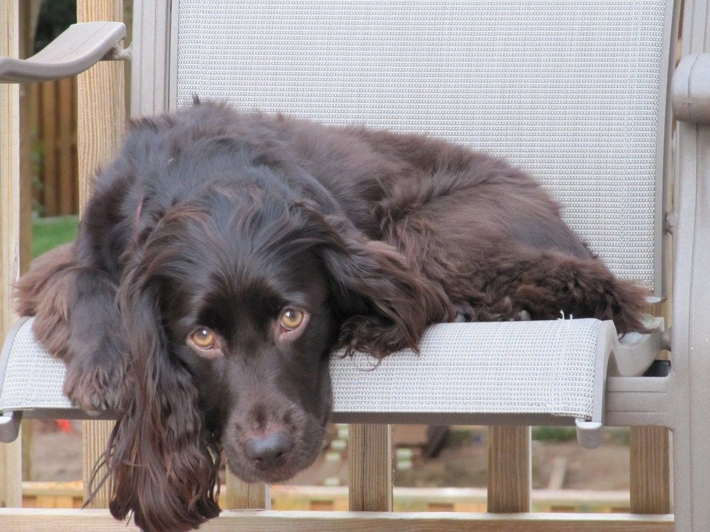 15 Dog Breeds That Making Training A Breeze Boykin Spaniel Puppies Boykin Spaniel Dog Breeds