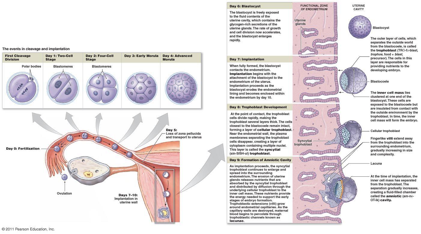 zygote development diagram | human biology | biology, anatomy