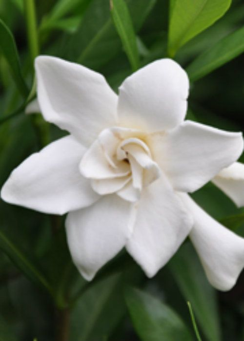 Frost Proof Gardenia Shop Online With Plantsbymail Com Garden Shrubs Flowering Shrubs Evergreen Shrubs