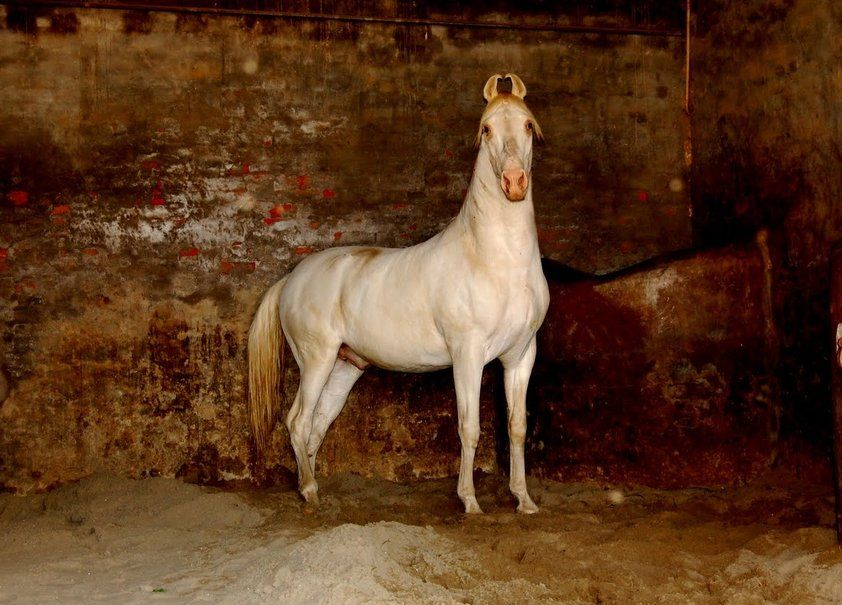 Pin By Audrey Sturner On Pretty Ponies Pinterest Horses Marwari