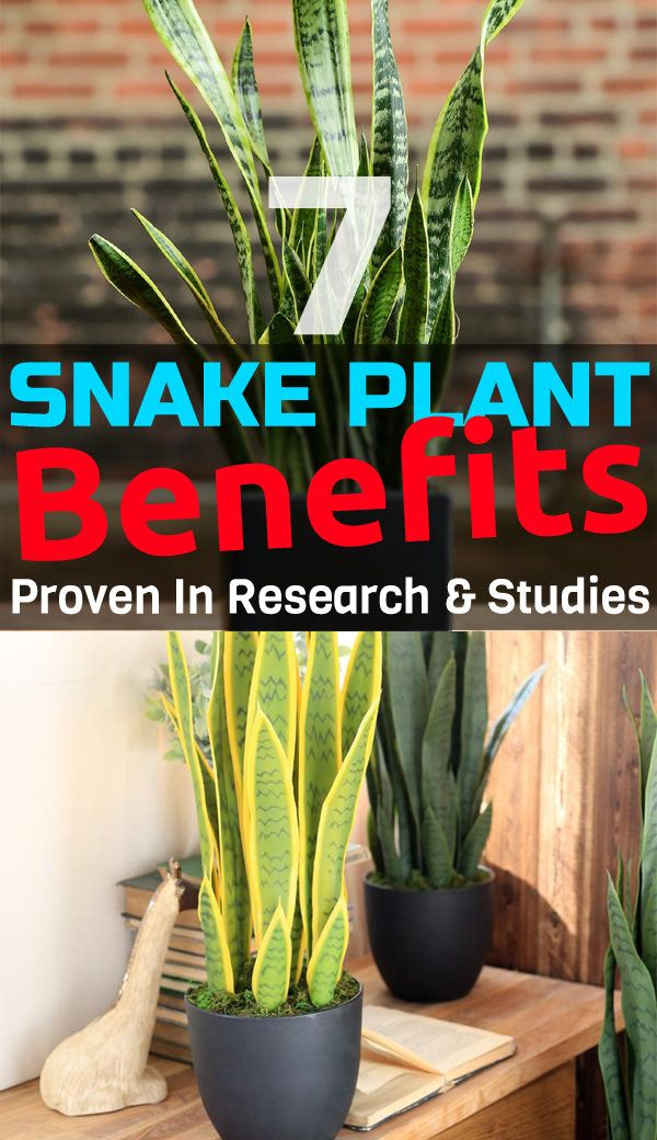 7 Great Snake Plant Benefits Proven In Research & Studies