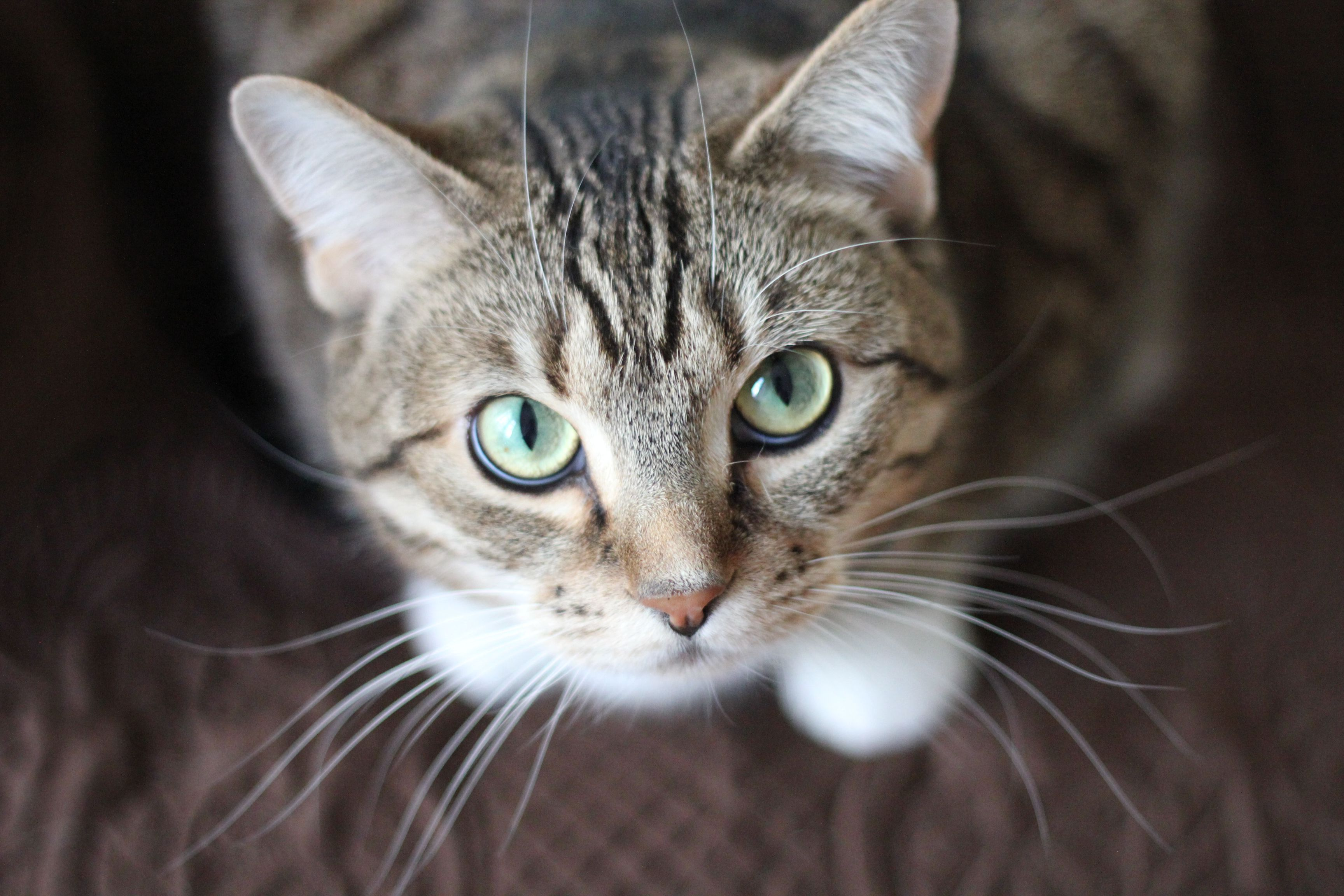 Cats Wallpaper speckled Cat Looking Up