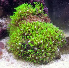 Star Polyp Green Coral Zoanthids Polyp Coral Coral Saltwater Fish Tanks