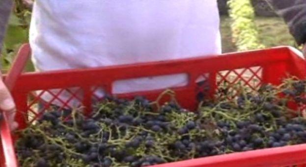 """Vin belge: """"excellent"""" millésime 2012 mais vendanges """"catastrophiques"""""""