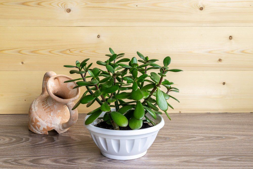 4 Houseplants You Can Easily Propagate From Cuttings Jade Plants Jade Plant Care Lily Plants