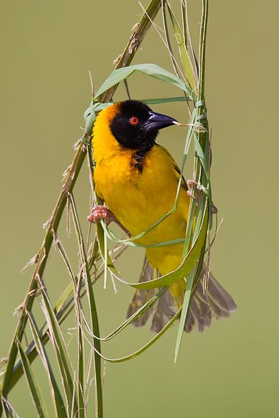 Black-Headed Weaver         ~photo by wild encounters