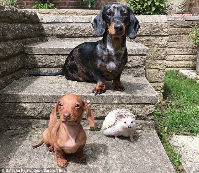 Meet Dachshunds Maya And Peanut And Minnie The Hedgehog Cute