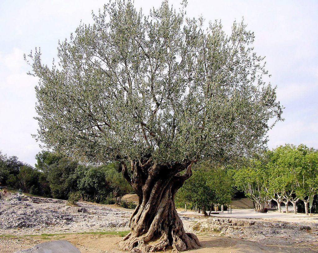 Oliviers curieux jardin olivier tricentenaire art for Jardin olivier