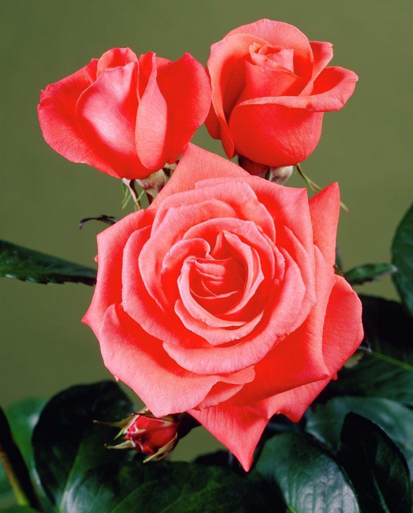 Rose 'Alexander' • Rosa 'Alexander' • Plants & Flowers • 99Roots.com