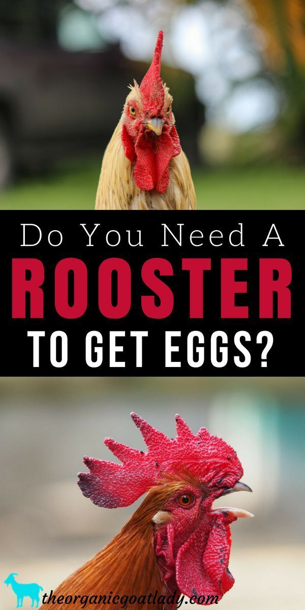 Do Hens Need a Rooster To Lay Eggs? Chickens On The ...
