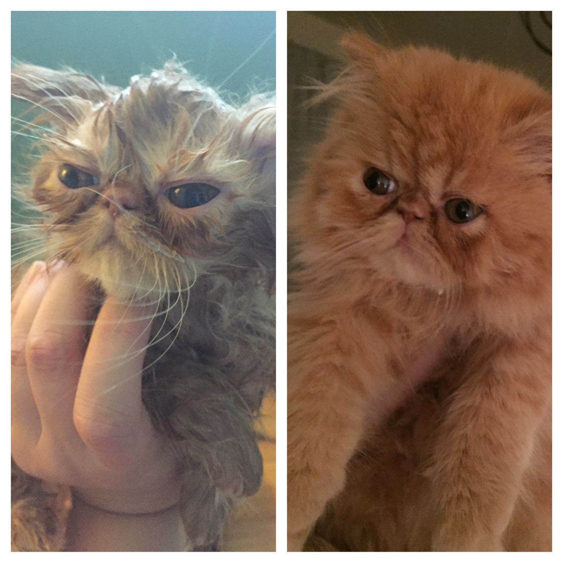 Before And After Blow Drying My Red Persian Kitten After Her Bath She Looks Kind Of Like A Gremlin When Wet Then The Orange C Persian Kittens Pets Orange Cat