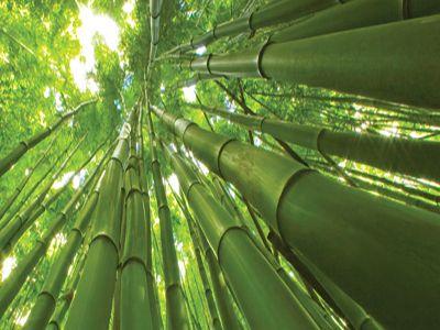 Piantagione di Bambu Gigante Moso  La Piantagione di Bambu OnlyMoso viene realizzata con un'accurata selezione di Bambù della specie denominata Phyllostachys edulis (o pubescens), opportunamente scelta per le caratteristiche qualitative, produttive e di adattabilità che questa varietà di Bambù possiede.  E' una graminacea gigante che raggiunge i 14/25 metri di altezza ed un diametro di 8/15 cm. La fioritura, con la relativa produzione di semi, avviene dopo circa 100 anni dalla nascita…