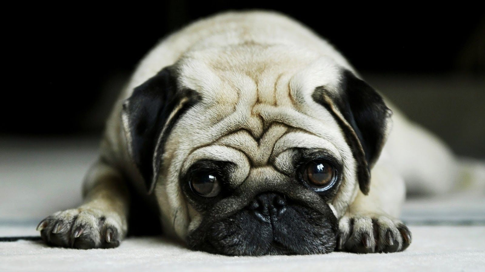1080p Hd Danger Dog Wallpaper High Quality Desktop Iphone And Android Background And Wallpaper Animals Wallpapers Hd Cute Pugs Pugs Dog Wallpaper