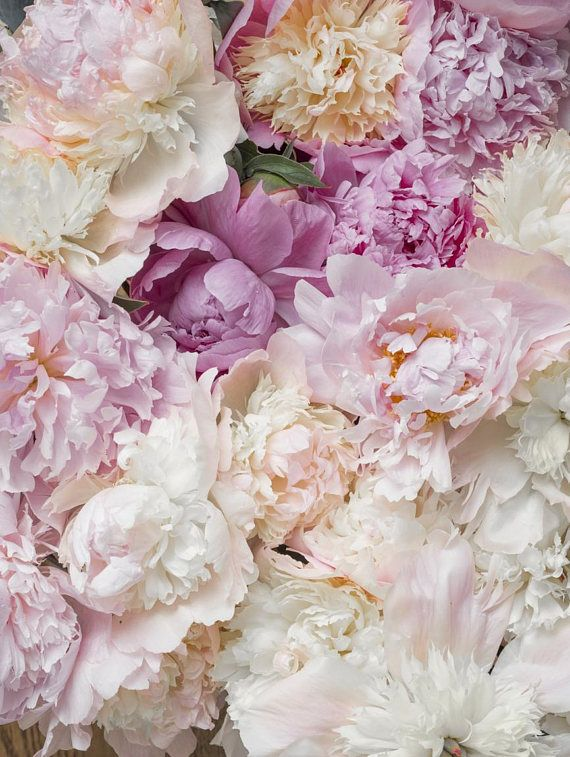 Flower Photography - Bed of Peonies, Peonies, Pink, Blush Floral Fine Art Photograph, Still Life, Large Wall Art
