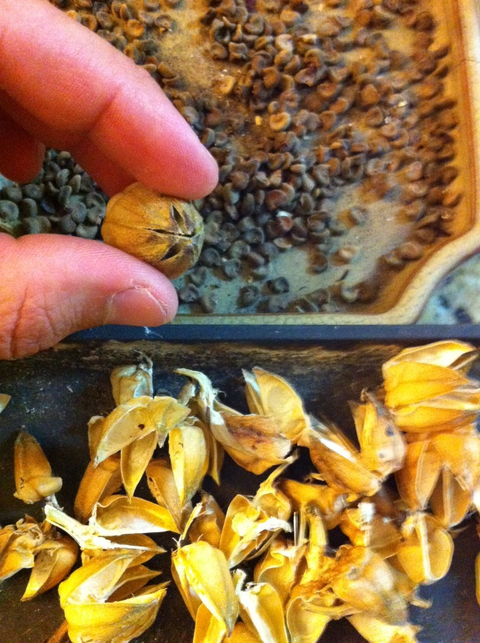 Hibiscus Seeds Being Separated From The Seed Pods Garden