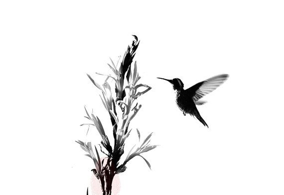 Digital Instant download- Minimalist Black and White Humming-Bird Photography Wall Art Decor Get 33% Off when you order 2 or more items, use code: PHOTO33 Thank you so much for visiting Mi Tierra es Tu Tierra at https://www.etsy.com/shop/MiTierraEsTuTierra Mexico 2011 ►Printable up to 16x24 inches (40x60 cm) Once uploaded your order, you can print it as many time as you want, at home, online or in any local print shop but to get the best quality I recommend y...