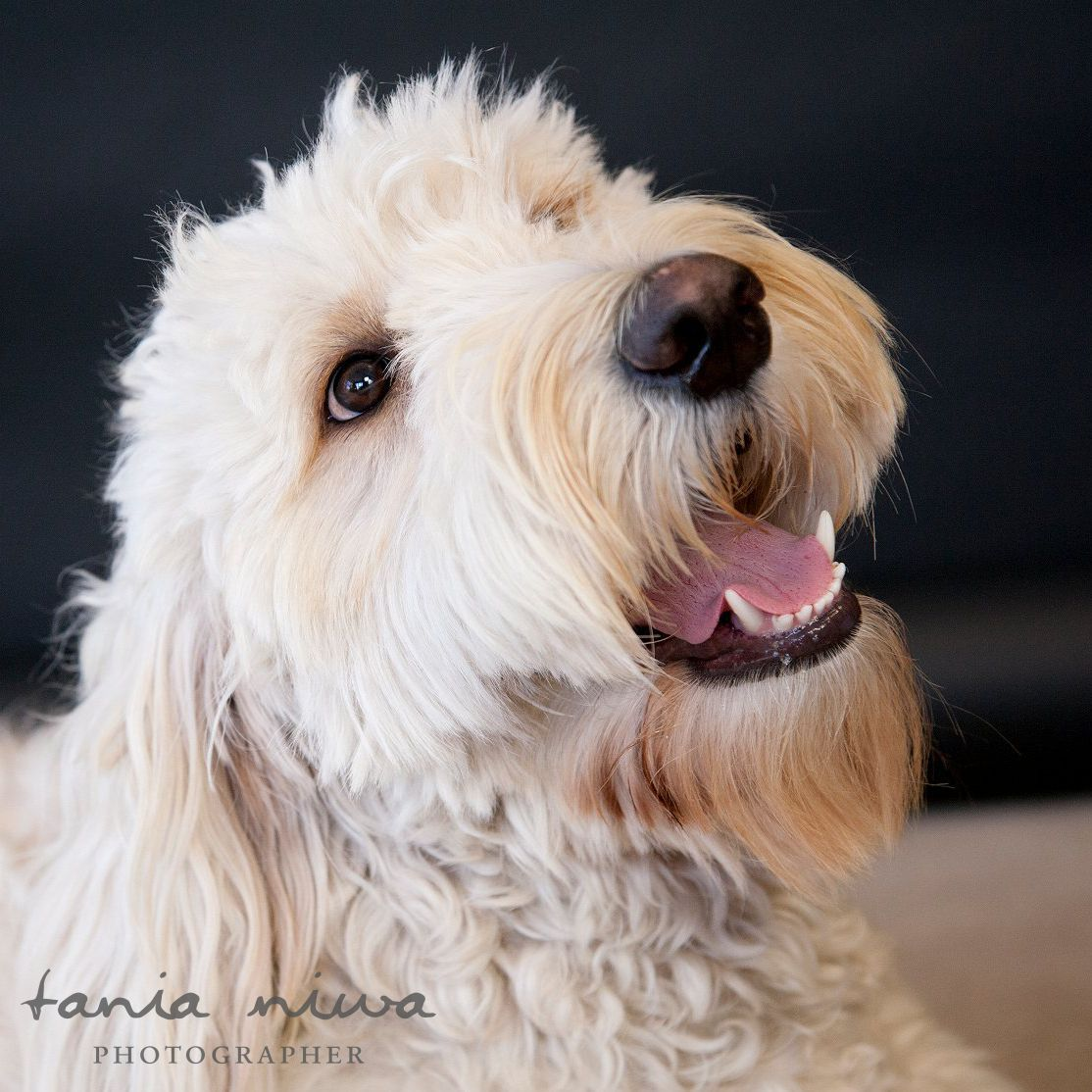 This is my Golden Doodle [Groodle in Australia] Duchess