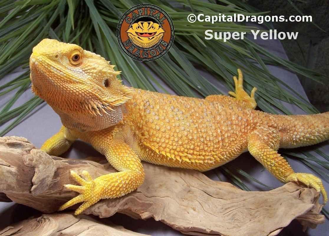 Super Yellow Color Morph Bearded Dragon Bearded Dragon Cute