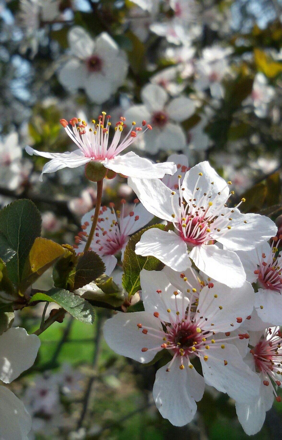 Fiori Bianchi Albero.Albero In Fiore Fiori Bianchi E Rosa Natura Alberi In Fiore