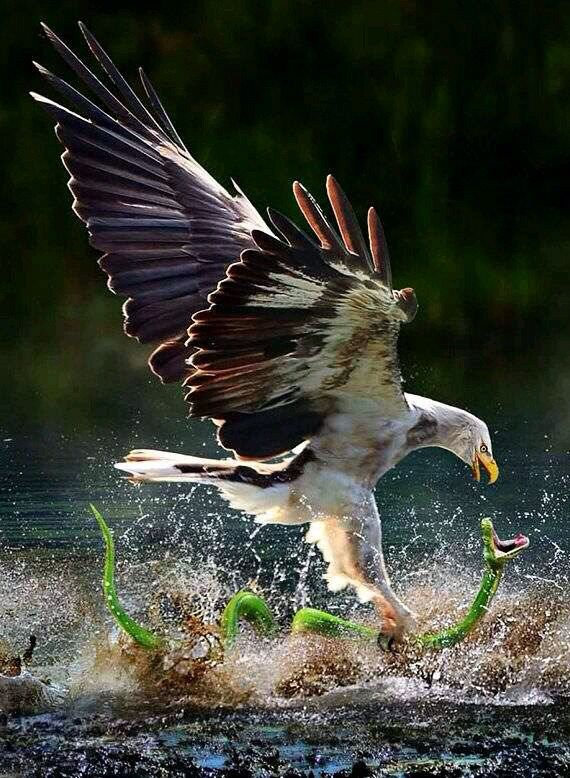 Eagle catching a water snake | Animals beautiful, Birds, Animals