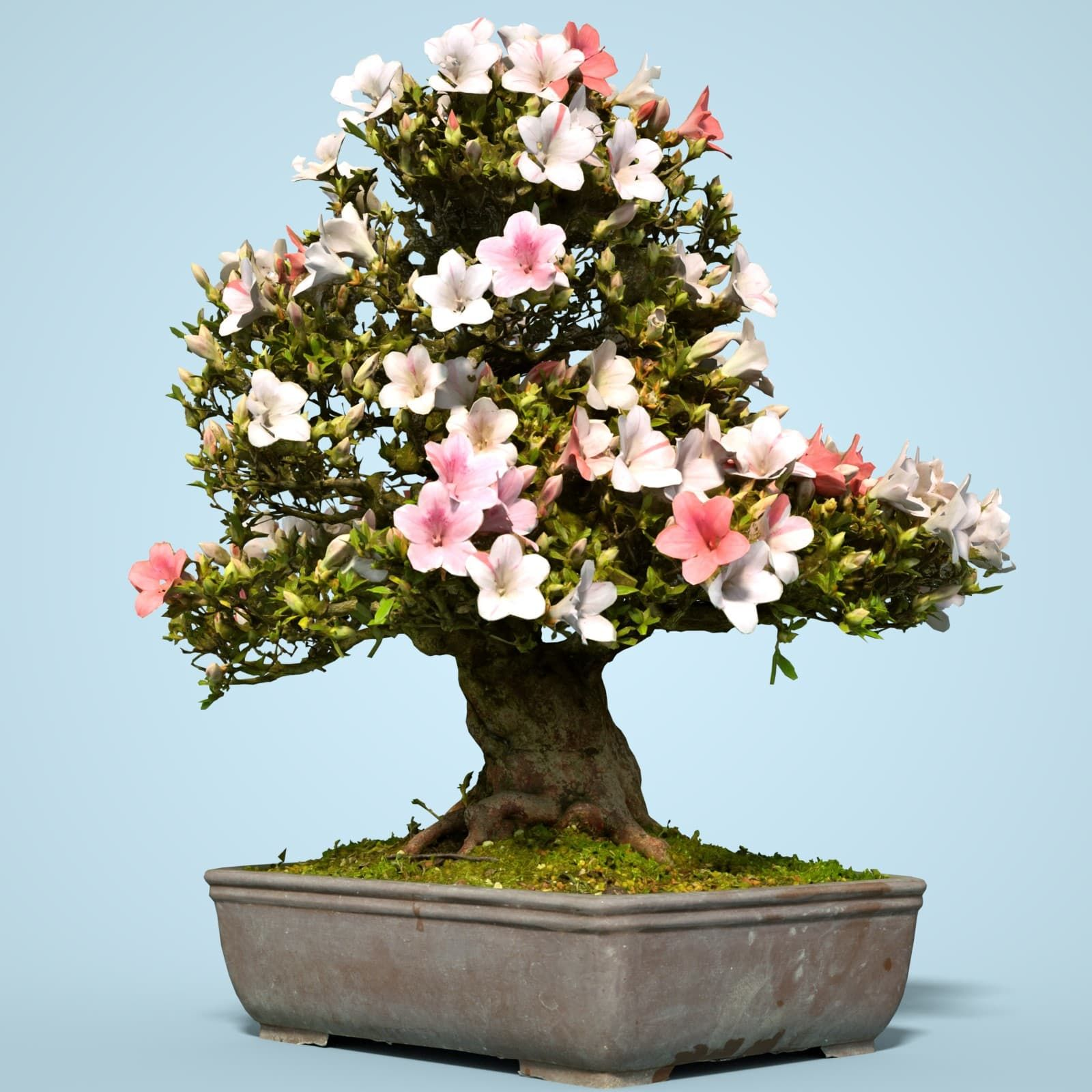 3d Satsuki Bonsai Tree Blossom Model Pinterest Bonsai
