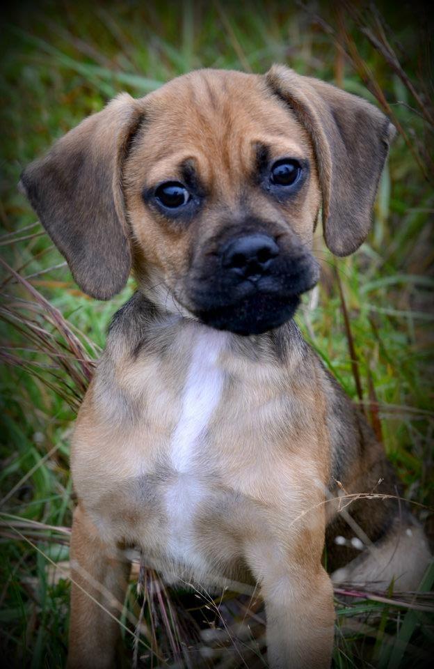 Cutest Puggle Puppy Ever Jessica Tapscott Photography Puggle