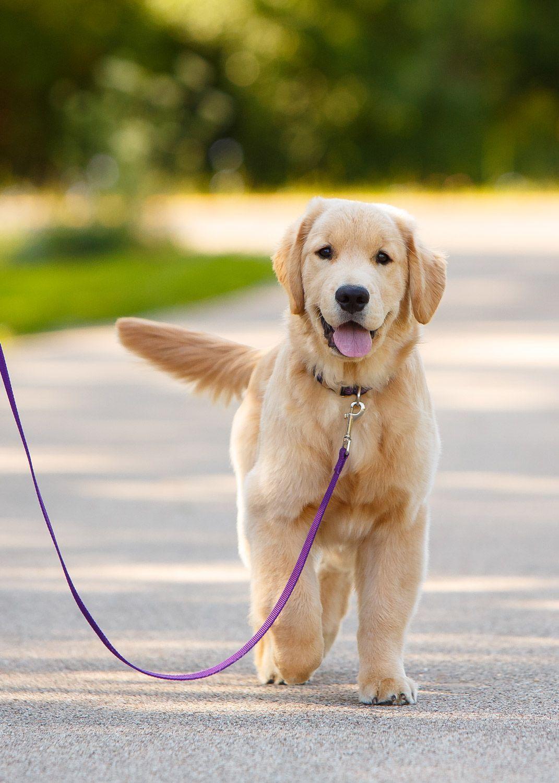 Daily Dose January 21 2018 Walk Ready Golden Retriever