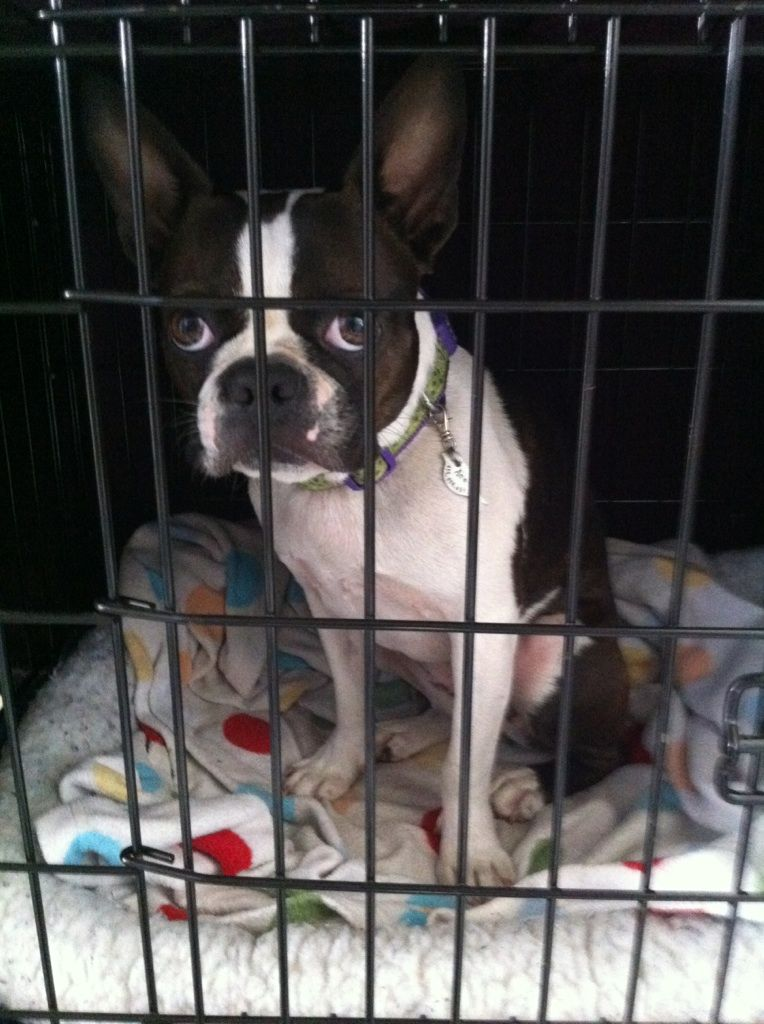 Boston Terrier Sits In Her Crate