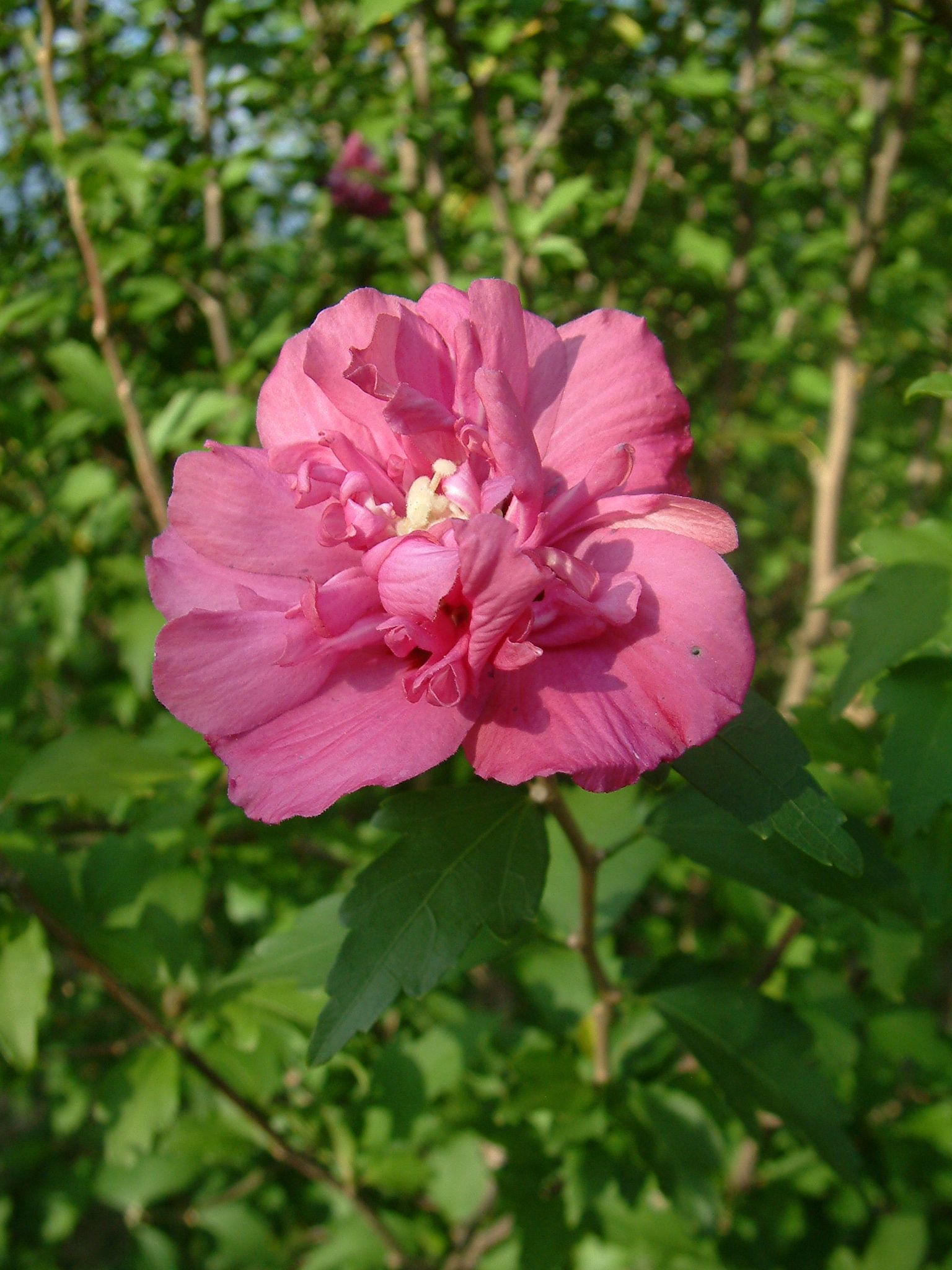 Hibiscus_syriacus_RB1.JPG (1536×2048)