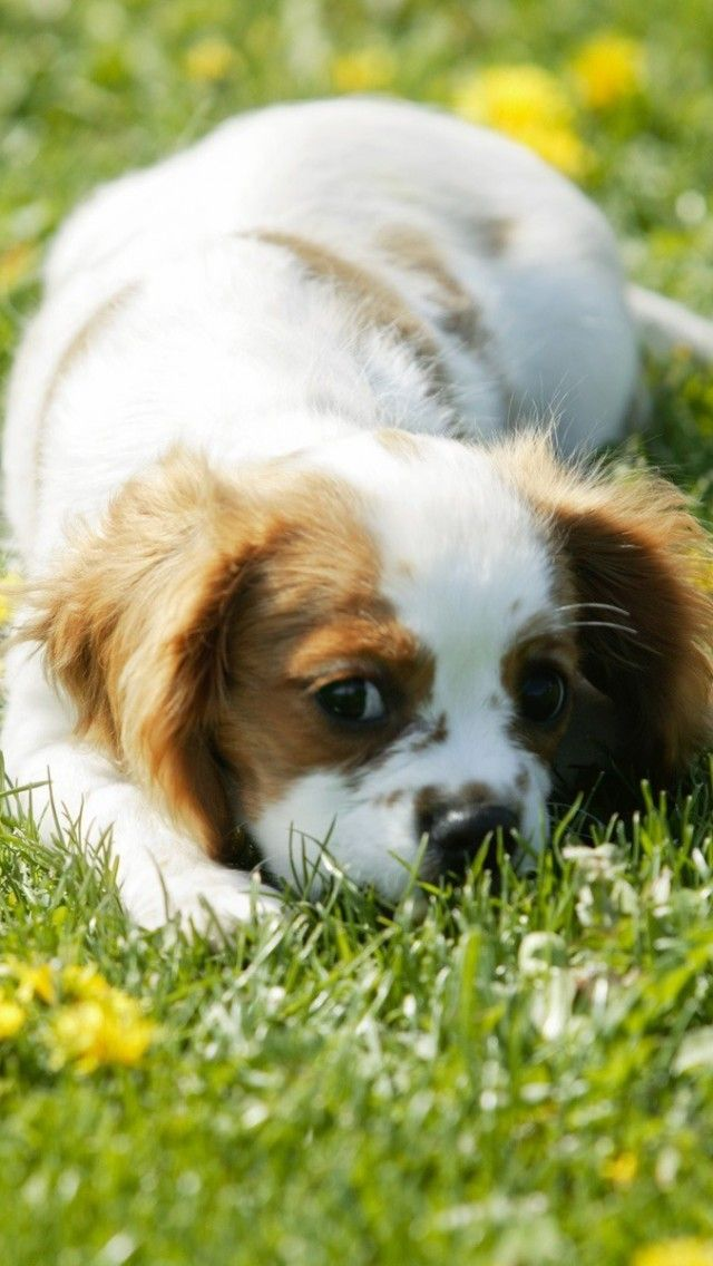 Fantastic King Charles Canine Adorable Dog - fe528ae1e3b741064fd7c1dbc9db18da  Pictures_733932  .jpg