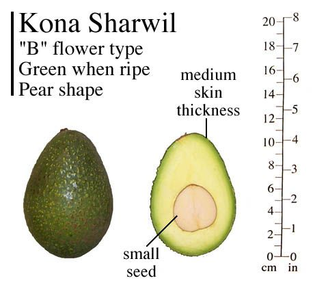 Kona Sharwil Photo Avocado Tree Avocado Avocado Varieties