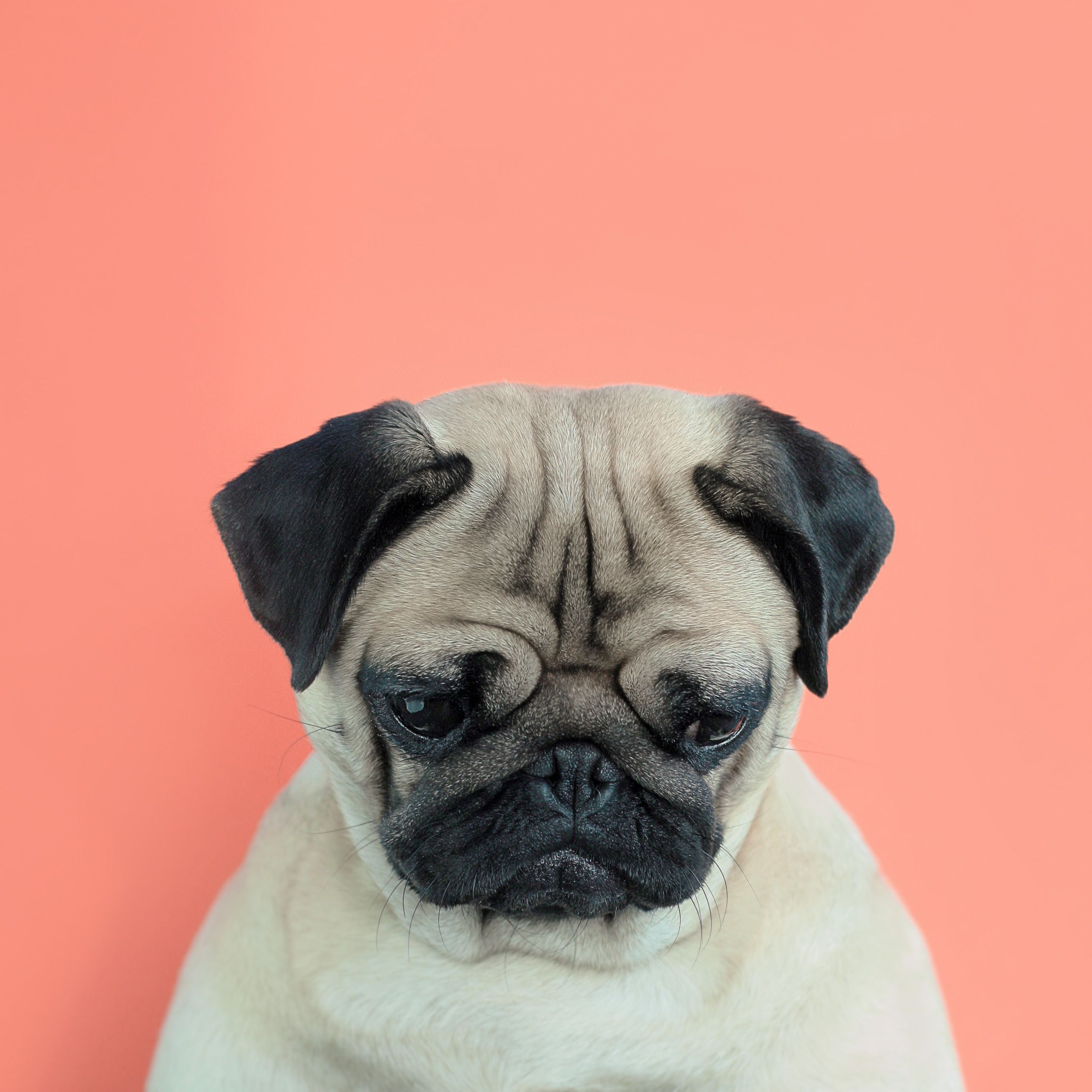 What Do You Mean I M Adopted Pug Chien Carlin Carlins