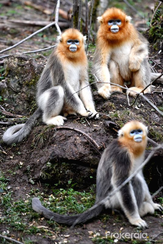 「snub-nosed monkey」の画像検索結果