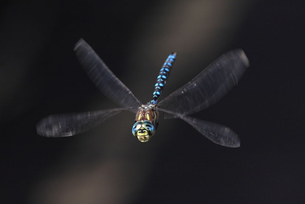 Beauty is a beast: Revealing the dragonfly's true colours