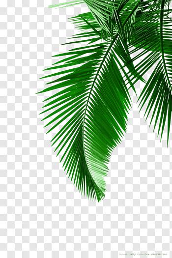 Arecaceae Leaf White Green Palm Leaves Material Green Leaf Free Png Watercolor Leaves Leaf Print Art Tree Illustration