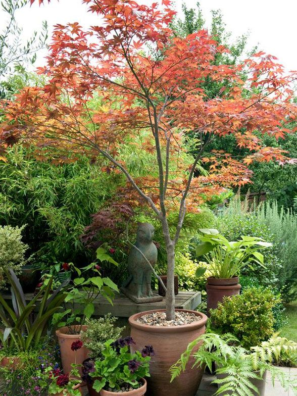 Plant of the day japanese maple garden pinterest for Best plants for japanese garden