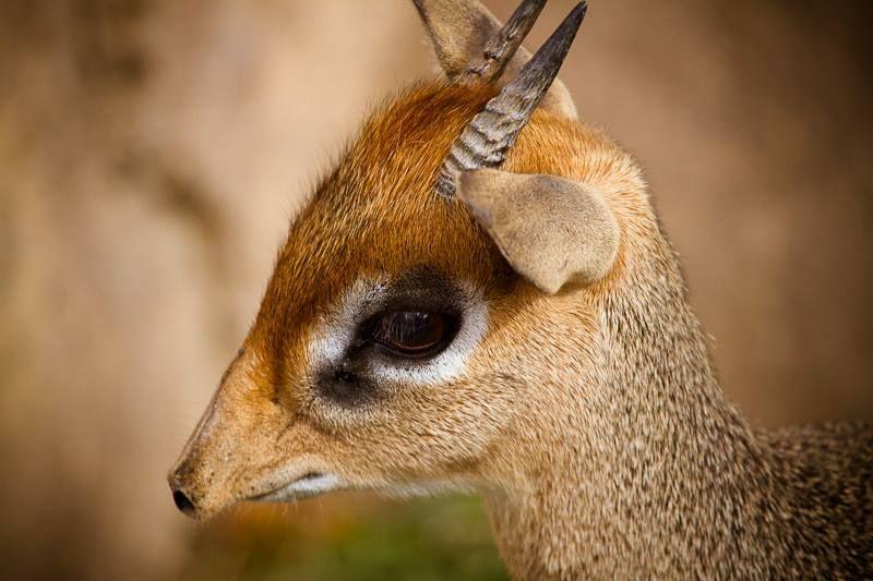 """O Dik-dik é um antílope africano pertencente ao gênero Madoqua. Sua altura não ultrapassa os 35 centímetros e 60 cm de comprimento. O macho possuem dois pequenos chifres e se diferem das fêmeas por isso.  Seu nome engraçado """"Dik-dik"""" deriva do som que eles emitem quando estão com medo."""
