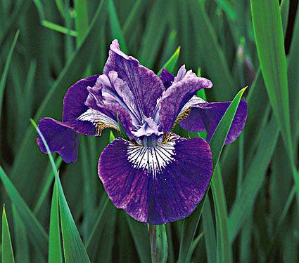 Iris Sibirica Lady Vanessa Quick Facts Common Name Sibirian Iris Hardiness Zone 3 8 S 3 9 W Height 30 Deer Resista White Flower Farm Plants Hardy Plants
