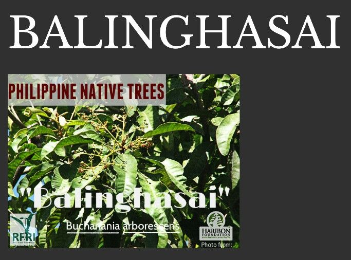 BALINGHASAI (Buchariania arboressens) Also called An-an and or - fresh invitation to tender law definition