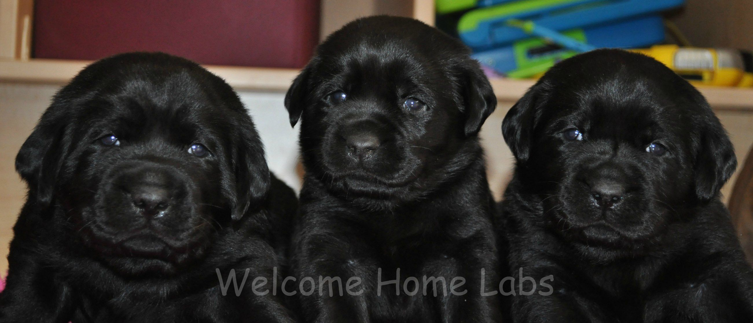 Labrador Puppies for Sale MN Yellow Lab Puppies
