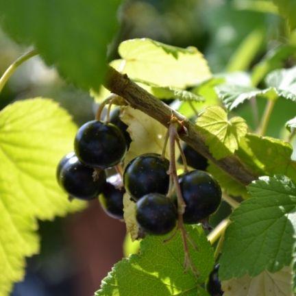 Cassis Nigrum Andega Petit Fruit Clematite Fruits