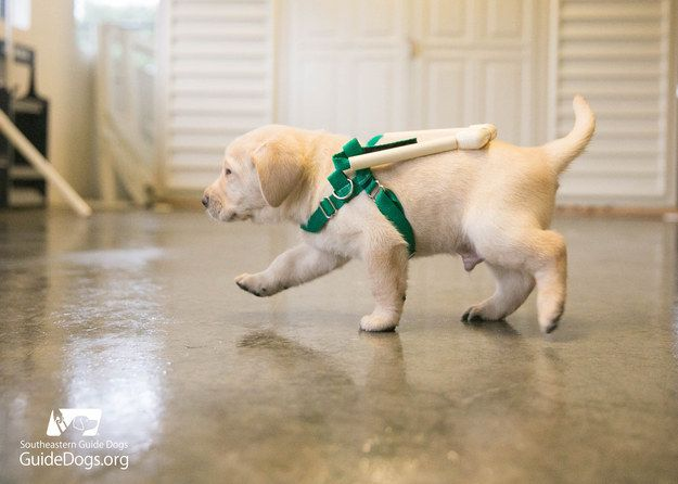 Guide Dog Puppies Are Being Trained With These Adorable Mini