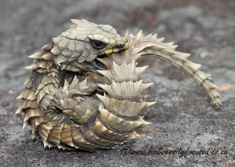 Armadillo Lizard (a/k/a Armadillo Girdled Lizard). From ...