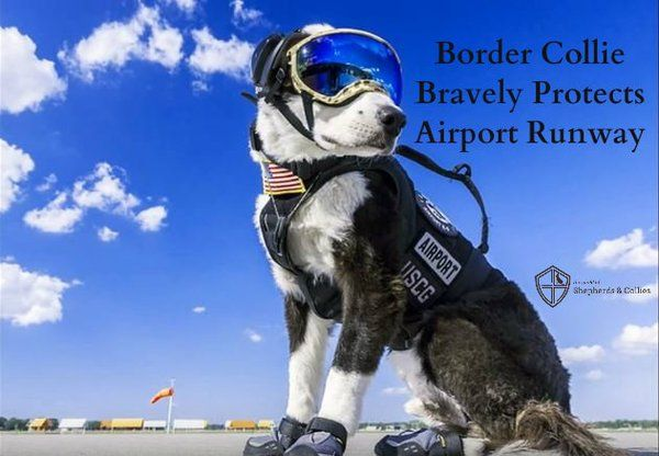 Border Collie K 9 Protects Airport Runway Guard Dogs Dogs Border Collie